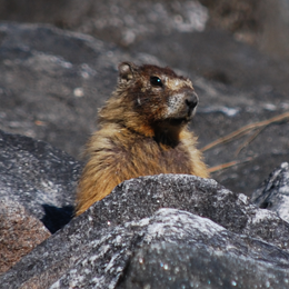photo of marmot on the rocks